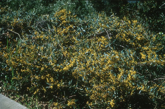 Acacia Redolens Low Boy