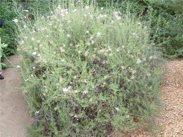 Plant photo of: Fallugia paradoxa