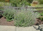 French Lavender, Toothed Lavender