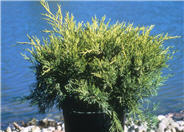 Juniperus chinensis 'Old Gold Pfitzer'